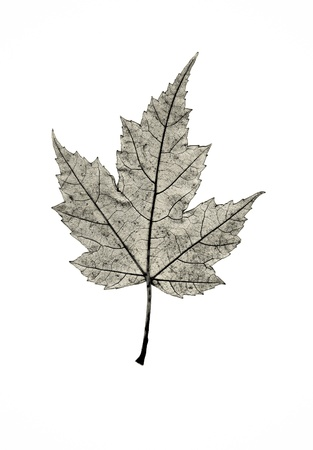The skeleton of a maple leaf in profile. Banco de Imagens