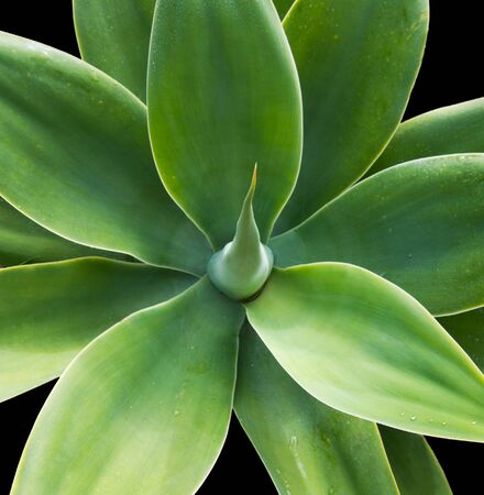 phallus: Agave plant with solid green leaves and points over a black background Stock Photo