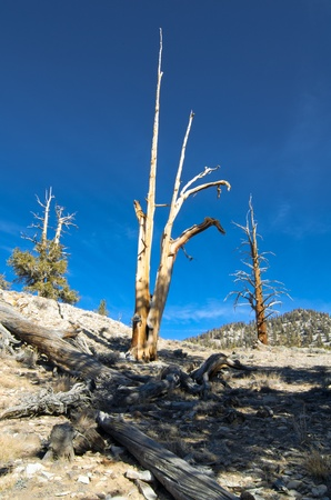 bristlecone: A slim and lonely bristlecone pine on a hillside in the White Mountains of California.