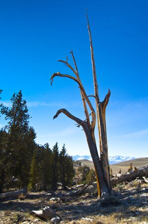A slim and lonely bristlecone pine on a hillside in the White Mountains of California. Stock Photo - 11505718