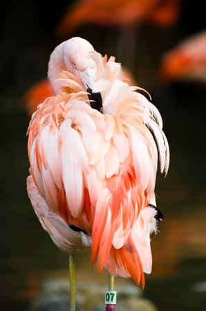 Photograph of a flamingo bird pecking and cleaning its feathers.