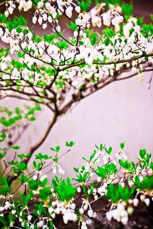 The branches of a tree blossoming in Spring season. photo