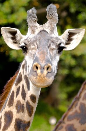 curiously: Giraffe in a zoo enclosure curiously gazing at the photographers lens.