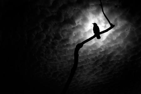 corvo imperiale: Corvo o corvo che riposa su un ramo di albero sterile.