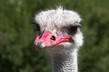 An ostrich who appears as if he has a disapproving look on its face.
