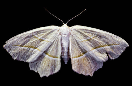 Photo of a moth resting on a flat surface.
