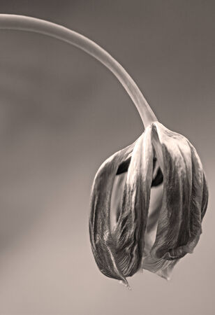The tulip is a perennial, bulbous plant with showy flowers in the genus Tulipa, of which around 75 wild species are currently accepted and which belongs to the family Liliaceae.