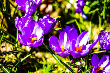 Crocuses are native to woodland, scrub, and meadows from sea level to alpine tundra in central and southern Europe, North Africa and the Middle East, on the islands of the Aegean, and across Central Asia to Xinjiang Province in western China.
