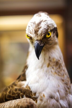 curiously: A clever hawk stares curiously into the camera lens.