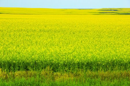 Rapeseed, also known as rape, oilseed rape, rapa, rappi, rapaseed, is a bright-yellow flowering member of the family Brassicaceae, consumed in China and Southern Africa as a vegetable.