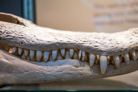 aligator: The bleached white skeleton of a large aligator head.