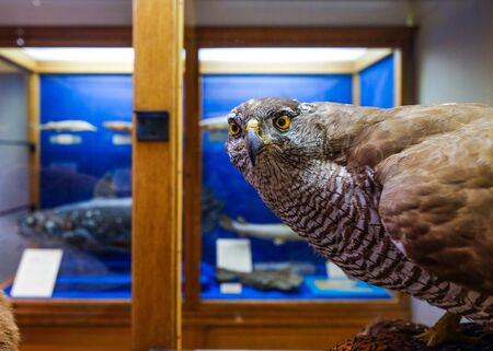 A clever hawk stares curiously into the camera lens.