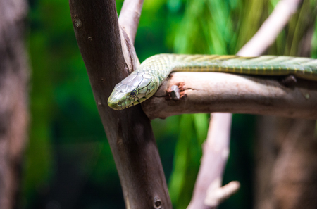 The black mamba is a venomous snake endemic to parts of sub-Saharan Africa. Skin colour varies from grey to dark brown. Stock Photo