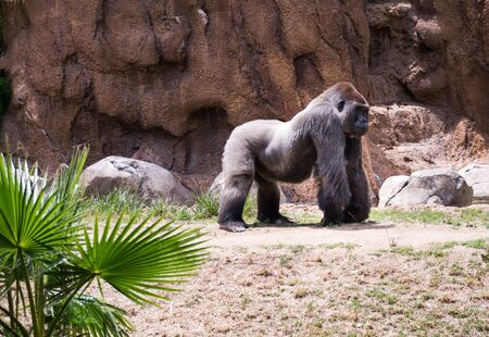 Gorillas are ground-dwelling, predominantly herbivorous apes that inhabit the forests of central Africa. Stock Photo