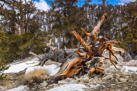 Some of the fallen trees at the Ancient Bristlecone Pines forest.