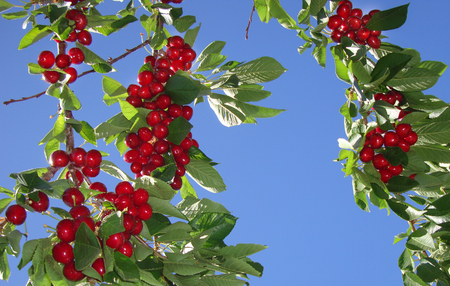 Red bing organic cherries growing on a leafy tree branch.