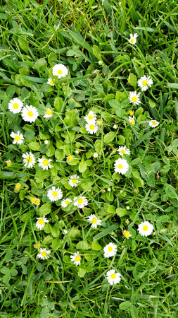 White petal daisies growing among green grass. Imagens