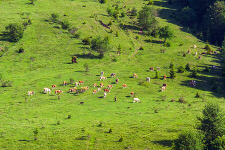 On a valley in a forest edge grazes a herd of cows.  A sunny morning and a hurried shepherd