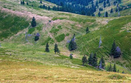 Pictures of the red mountain. Carpathians. Romania. A beautiful landscape on the red mountain with people picking berries, firs and dead trees. Standard-Bild