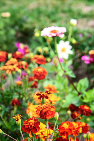 Tagetes patula or French marigold. On a blur background. This plant is valued for its velvet-textured