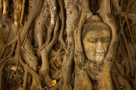 spiritual journey: ruin of buddha head cover by root of tree at Ayutthaya