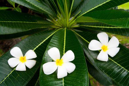 thom: 3 of lan thom flowers
