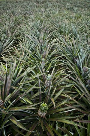Pineapples Field