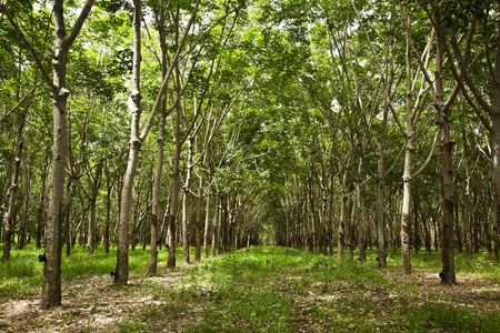 out of production: Rubber trees Stock Photo