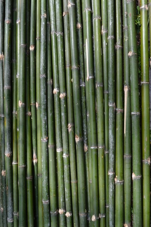 Green bamboo strip as background.  photo