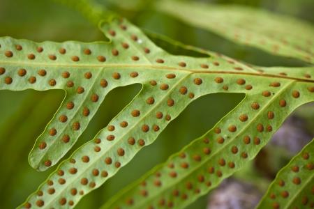 sporen: Nahaufnahme von Sporen an der Unterseite des Farnbl�ttern Lizenzfreie Bilder