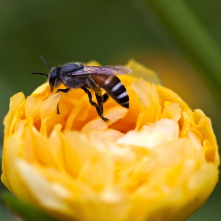 A bee drinking nectar from the flower photo