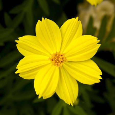 spp: A yellow cosmos  Cosmos spp   Stock Photo