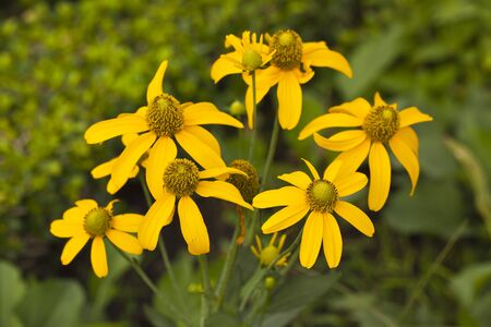 A yellow cosmos  Cosmos spp   photo