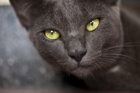 Korat domestic cat  the amber eyes cat   looking at camera Stock Photo