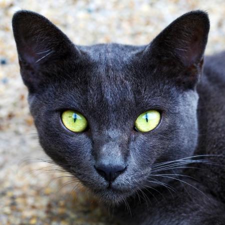 Korat domestic cat the amber eyes cat  looking at camera