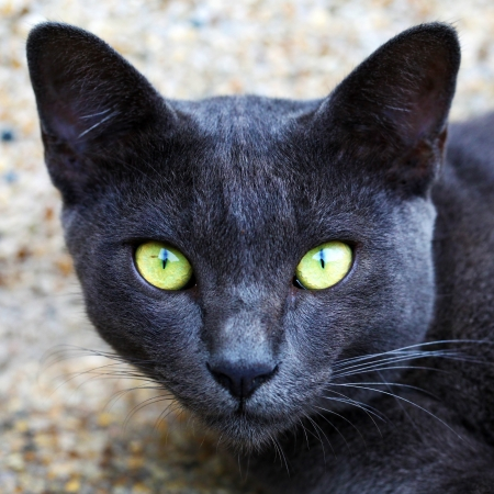 Korat domestic cat the amber eyes cat  looking at camera