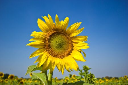 Beautiful sunflowers in the field,with bright blue sky  photo