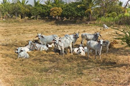 musk: Thai cattle. Stock Photo