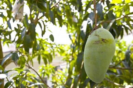 The Big Mango  photo