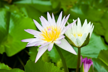 Lotus blossom  photo