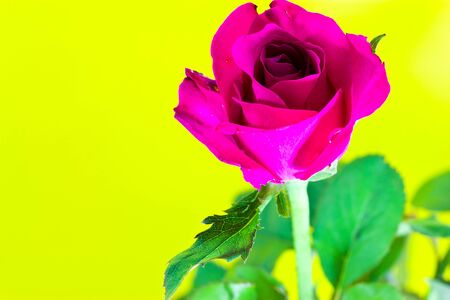 Pink roses on a yellow background  photo