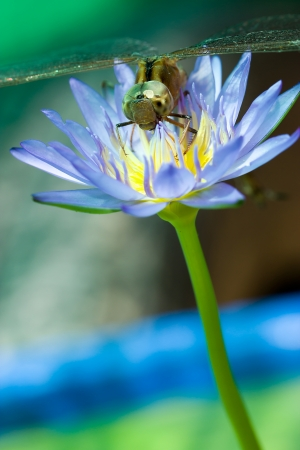 Dragonfly Lotus Blossom Island  photo