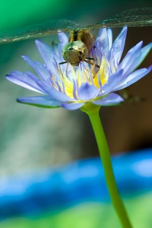dropwing: Dragonfly Lotus Blossom Island