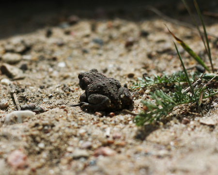 Common Toad on timber,asian toad brown,Common Toad Bufo Bufo ,poison animal amphibian