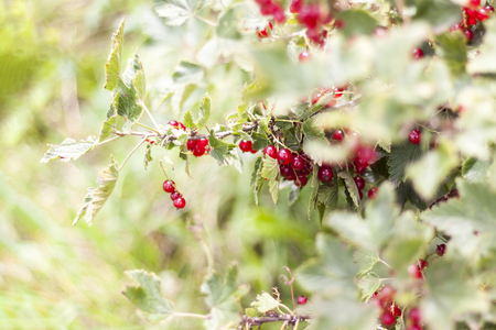 Red currant. In a natural environment. Berries are on the bush.