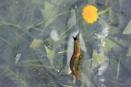 Green grass with a yellow dandelion is separated by a slug film. man destroys the eco-system.
