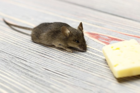 Gray mouse and piece of cheese on a gray wooden background retro Stock Photo