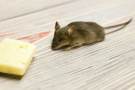 Gray mouse and piece of cheese on a gray wooden background retro