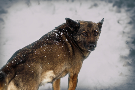 winter, a lot of snow. Local stray dog. plaintive look. there is tonirovapny and close-up.