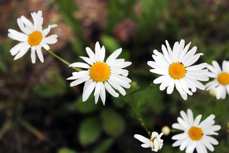 flower. chamomile. shallow depth of field have toning